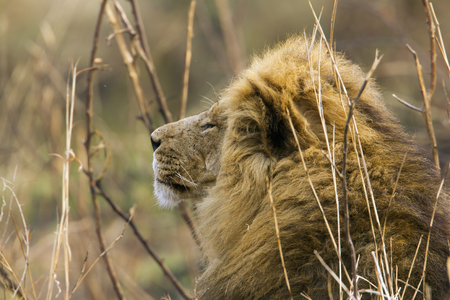 specie: Specie Panthera leo family of felidae, portrait of a male lion in the bush
