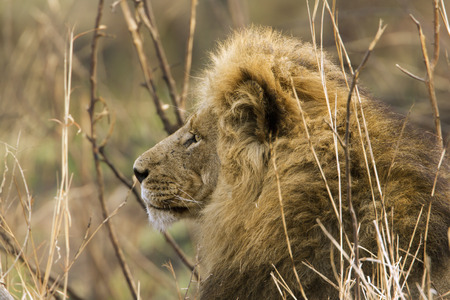 felidae: Specie Panthera leo family of felidae, portrait of a male lion in the bush