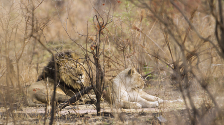 felidae: Specie Panthera leo family of felidae, male and female lions in the bush