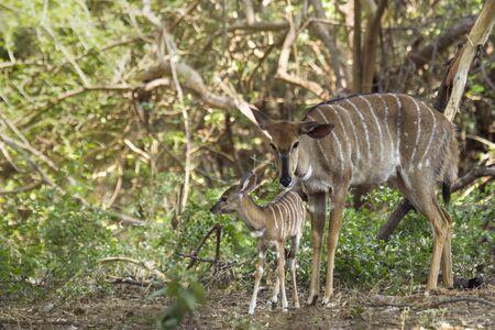 bovidae: Specie Tragelaphus angasii family of bovidae, mother and baby nyala