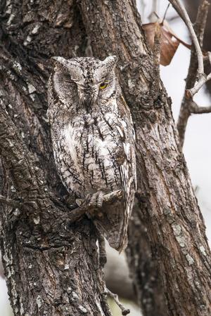 Specie Otus senegalensis family of strigidae, african scops-owl