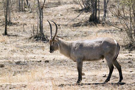 bovidae: Specie Kobus ellipsiprymnus family of bovidae, waterbuck in savannah