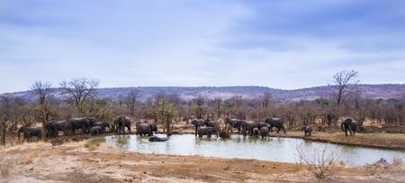 Specie Loxodonta africana family of Elephantidae,  group of wild african bush elephants Reklamní fotografie - 49148676