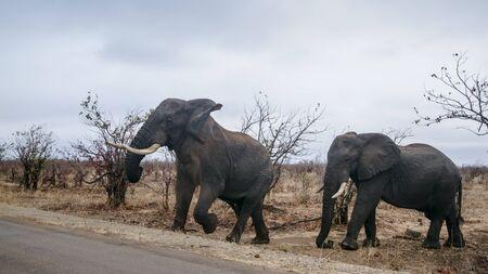 specie: Specie Loxodonta africana family of Elephantidae,  group of wild african bush elephants Stock Photo