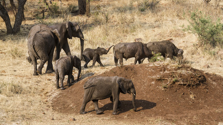 loxodonta africana: Specie Loxodonta africana family of Elephantidae, group of wild african bush elephants