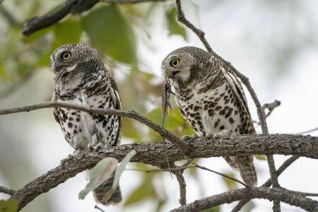 barred: Specie Glaucidium capense family of Strigidae, barred owlet eating a lizard