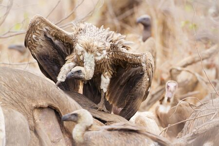 accipitridae: Specie Gyps coprotheres family of Accipitridae, cape vultures eating a dead animal