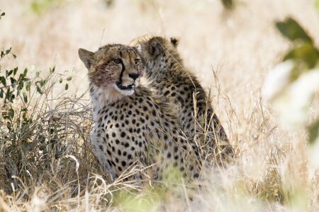 cheetahs: Specie Acinonyx jubatus family of Felidae, two cheetahs in the bush Stock Photo