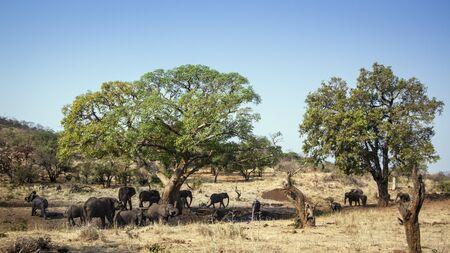 specie: Specie Loxodonta africana family of Elephantidae, group of african bush elephants in dry savannah