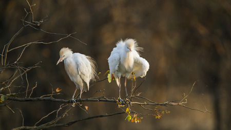 egrets: Specie Bubulcus ibis family of ardeidae, cattle egrets in Kruger Park