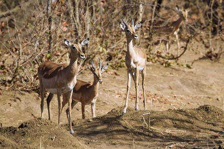 bovidae: Specie Aepyceros melampus family of bovidae, family of impalas in Kruger park