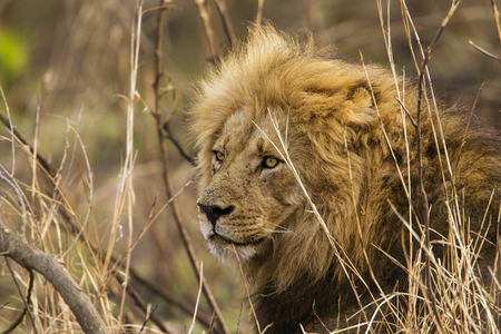 felidae: Specie Panthera leo family of felidae, male lion in savannah