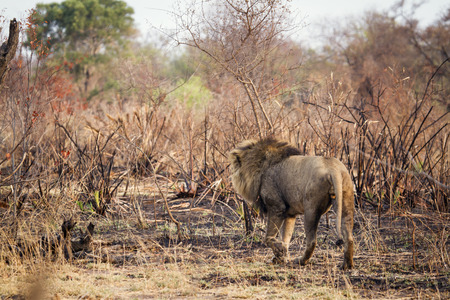 specie: Specie Panthera leo family of felidae, male lion walking in savannah