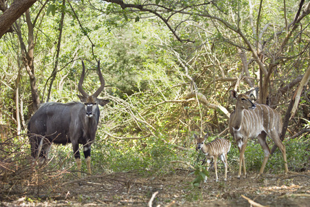 Specie Tragelaphus angasii family of bovidae, group of Nyala in Kruger Park Reklamní fotografie - 49148523