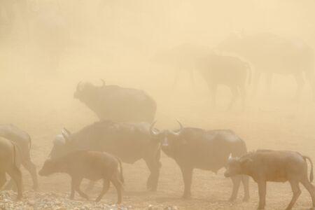 bovidae: Specie Syncerus caffer family of bovidae, wild buffalo herd of dust in the Kruger Park Stock Photo