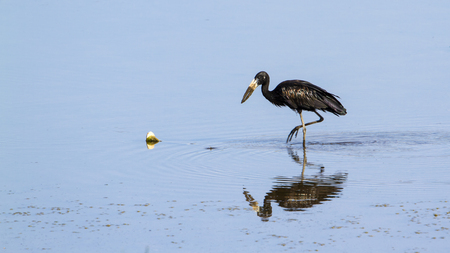 anastomus: Specie Anastomus lamelligerus family of Ciconiidae, african openbill in the river