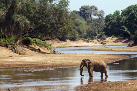 loxodonta: Specie Loxodonta africana family of Elephantidae, african bush elephant in the riverbank in South Africa
