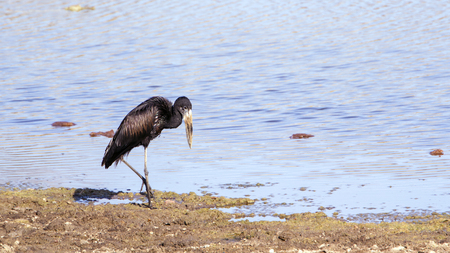 anastomus: Specie Anastomus lamelligerus Ciconiidae family of african Openbill in the riverbank in South Africa Stock Photo