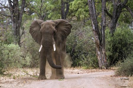 specie: Specie Loxodonta africana family of  Elephantidae
