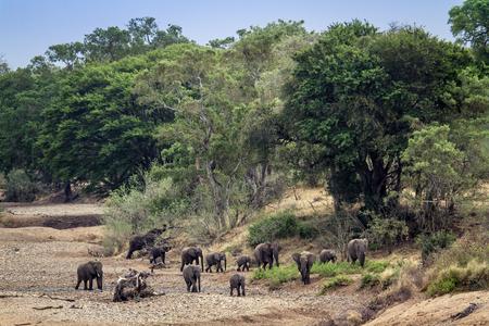 specie: Specie Loxodonta africana family of  Elephantidae, group of african elephants in savannah Stock Photo