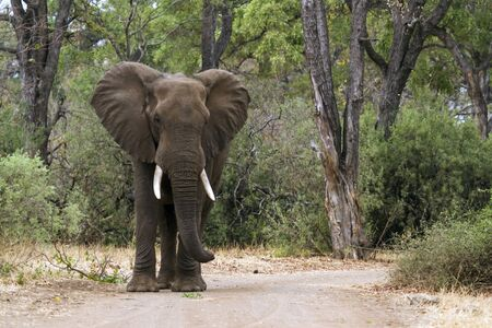 elephant angry: Specie Loxodonta africana family of  Elephantidae, angry african bush elephant on the road