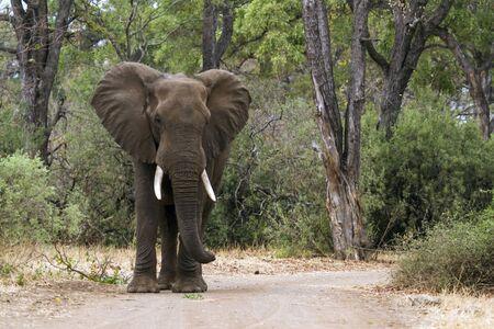 elephant angry: Specie Loxodonta africana family of  Elephantidae, angry african bush elephant on the road