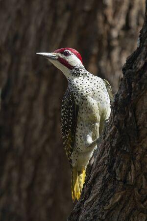 bennett: Specie Campethera bennettii family of picidae,  Bennett s woodpecker