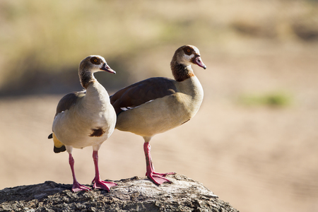 alopochen: Specie Alopochen aegyptiaca family of anatidae, egyptian gooses during courtship