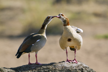 courtship: Specie Alopochen aegyptiaca family of anatidae, egyptian gooses during courtship