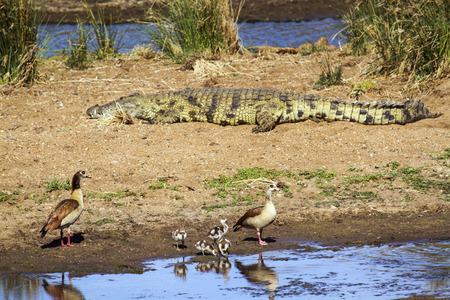 anatidae: Specie Alopochen aegyptiaca family of anatidae, Nile crocodile and egyptian gooses in the riverbank Stock Photo