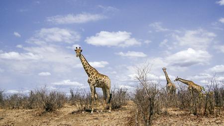 giraffa camelopardalis: Specie Giraffa camelopardalis family of Giraffidae, giraffes in savnnah, Kruger Stock Photo