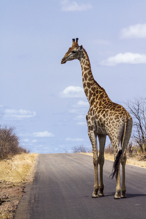 giraffa camelopardalis: Specie Giraffa camelopardalis family of Giraffidae, isolated giraffe on the road, Kruger Stock Photo