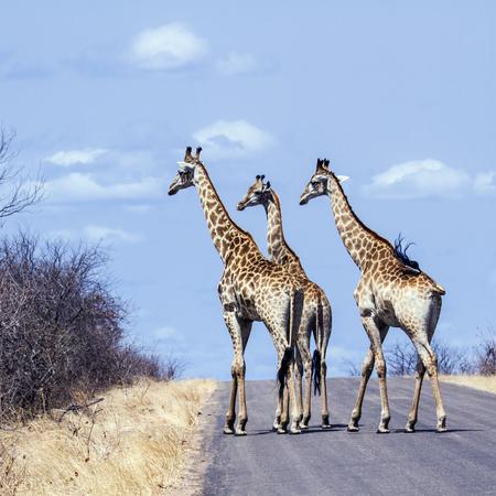 giraffa camelopardalis: Specie Giraffa camelopardalis family of Giraffidae, group of giraffes on the road, Kruger Stock Photo