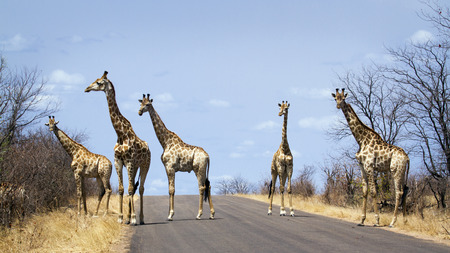small group of animals: Specie Giraffa camelopardalis family of Giraffidae,  group of giraffes on the road, Kruger