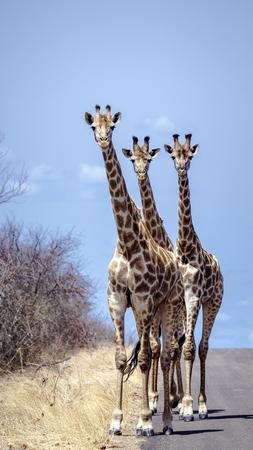 Specie Giraffa camelopardalis family of Giraffidae, group of giraffes on the road, Kruger Reklamní fotografie