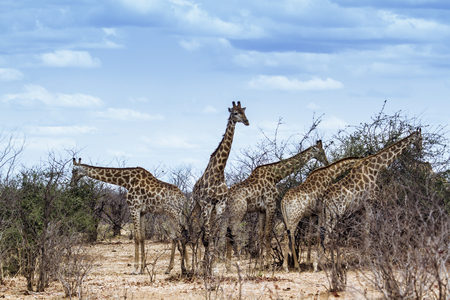 kruger park: Specie Giraffa camelopardalis family of Giraffidae, group of giraffes on the road in Kruger Park