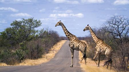 Specie Giraffa camelopardalis family of Giraffidae, group of giraffes on the road in Kruger Park
