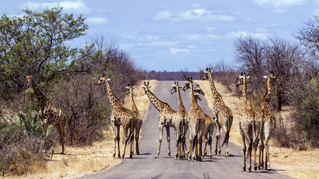 kruger park: Specie Giraffa camelopardalis family of Giraffidae, big group of giraffes on the road in Kruger Park