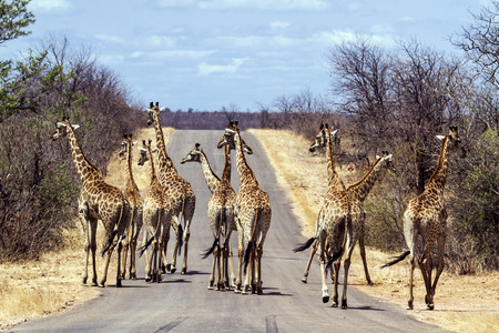 camelopardalis: Specie Giraffa camelopardalis family of Giraffidae, big group of giraffes on the road in Kruger Park
