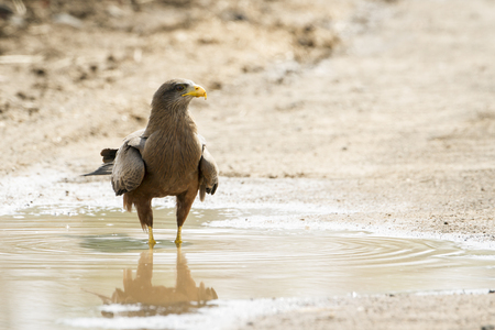 tawny: Specie Aquila rapax family of Accipitridae, tawny eagle in Kruger park