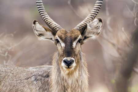 Specie Kobus ellipsiprymnus family of bovidae,  waterbucks in savannah, Kruger, South Africa
