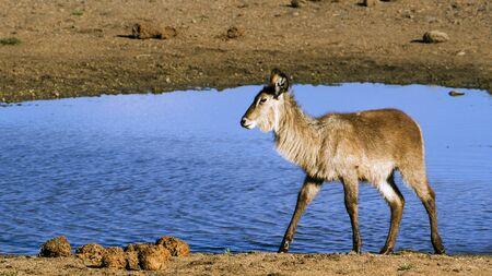 bovidae: Specie Kobus ellipsiprymnus family of bovidae, waterbuck in the riverbank in South Africa