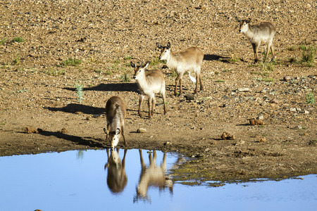 bovidae: Specie Kobus ellipsiprymnus family of bovidae, group of waterbuck in the riverbank