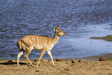 small group of animals: Specie Tragelaphus angasii family of bovidae, nyala walking in the riverbank Stock Photo