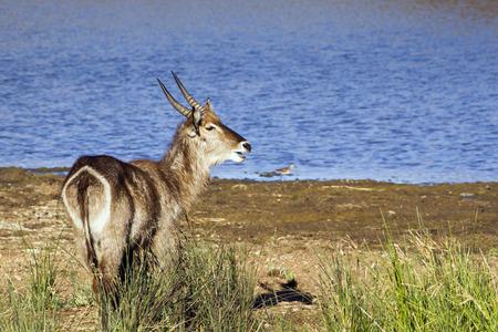 bovidae: Specie Kobus ellipsiprymnus family of bovidae, nyala drinking water in Africa