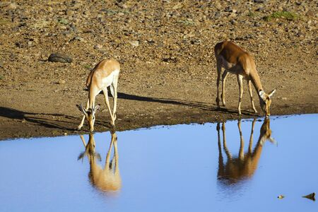 bovidae: Specie Aepyceros melampus family of bovidae, nyala drinking water in Africa