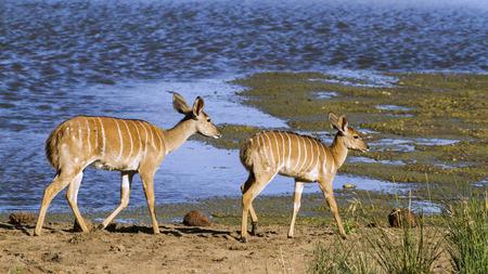 bovidae: Specie Tragelaphus angasii family of bovidae, two nyala in the riverbank
