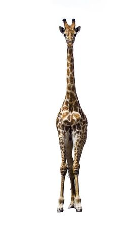 giraffa: Specie Giraffa camelopardalis family of Giraffidae, giraffe standing, white background Stock Photo