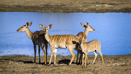bovidae: Specie Tragelaphus angasii family of bovidae, family of nyala in the riverbank
