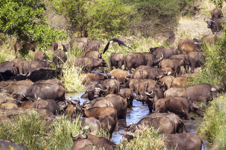 bovidae: Specie Syncerus caffer family of bovidae, group of african buffalo in savannah